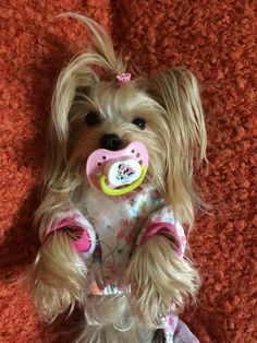 Yorkshire Terrier – Energetic and Affectionate Yorkies, Yorkie Puppy, Pomeranians, Cute Dogs And Puppies, Baby Puppies, Homeless Dogs, Yorkshire Terrier Puppies, Teacup Puppies, Happy Puppy