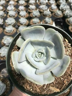 Echeveria 'Moondust' is a slow-growing hybrid of Echeveria lauii and Echeveria lilacina. It grows up to 6 inches (15 cm) across and...