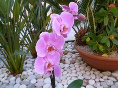 orchid propagation