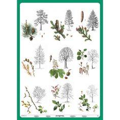 lesní stromy - Hledat Googlem Autumn Activities For Kids, Nature Tree, Elementary Science, Botanical Illustration, Pre School, Kids Learning, Montessori, Teaching, Education