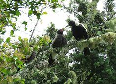 Bird Photos, Birding Sites, Bird Information: ADULT AUSTRALIAN MAGPIE & CHICKS, AUCKLAND, NEW ZE...