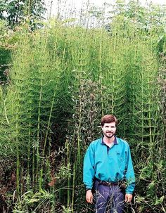 Equisetum giganteum 'El Tabacal'