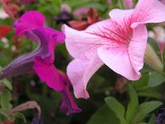 Flowers#Croatia#Sunset#Pink#Purple#