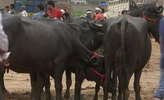 'Will Leave Buffaloes On Road,' Says UP Farmer Hit By Centre's Cattle Ban