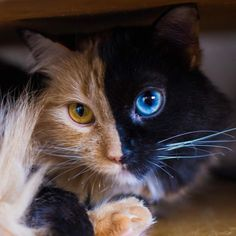Two-Faced Cat is Taking Over the Internet: Meet Quimera the Most Rare Feline - Cats and Meows Cool Cats, Cute Cats And Kittens, Adorable Kittens, Ragdoll Kittens, Tabby Cats, Bengal Cats, White Kittens, Black Cats, Kitty Cats