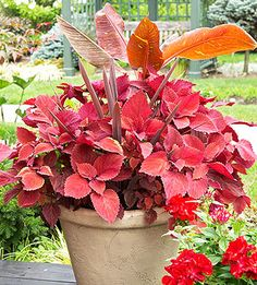 Seeing Red...A trio of foliage plants -- Redhead coleus, 'Red Star' Cordyline, and 'Siam Ruby' banana -- serve varying shades of red that sparkle when teamed with a container filled with red geraniums and rose Nicotiana.