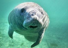 Annual manatee deaths in Florida top 800 for the first time