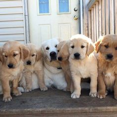 Golden mom and her pups
