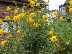 RUDBECKIA laciniata 'Goldquelle' - Solhat, farve: gul/fyldt, lysforhold: sol, højde: 80 cm, blomstring: august - september, god til afskæring, god til bier og andre insekter.