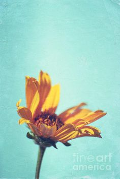 for the love of floral daisy yellow flower simple beauty art photo