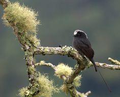 Foto viuvinha (Colonia colonus) por Dario Sanches | Wiki Aves - A Enciclopédia das Aves do Brasil - É um pássaro delicado com silhueta única .