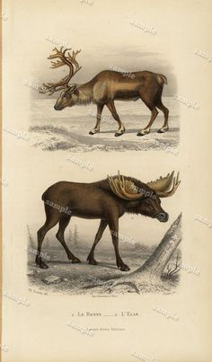 1850 Antique Natural History Animal  Print The by Printvilla4you