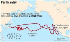 Is tuna safe to eat, post Fukushima??  Tuna migration pacific in Fukushima contamination zone