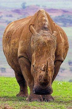 Save the rhino ..