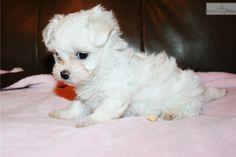 Maltese puppy for sale near Fort Smith, Arkansas | 0ea441f4-64d1