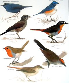 Bird Print - Eurasian Robin, Fire Crested Alethe, Nightingale, Robin Chat - 1984 Vintage Birds Book Page. $10.00, via Etsy.