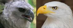 Fight between Harpy Eagle Vs Bald Eagle Fight Harpy Eagle, Bald Eagle, Wild Animals, Birds, Bird, Wild Ones