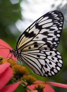 Pretty black and white butterfly