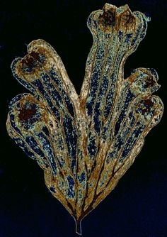 Victorian-era fern leaf under a microscope. - Credit: Howard Lynk, Victorian Microscope Slides
