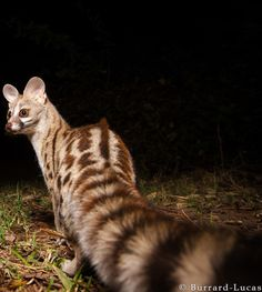 Genet photographed with a Camera Trap. South Luangwa National Park, Zambia. Burrard-Lucas photography