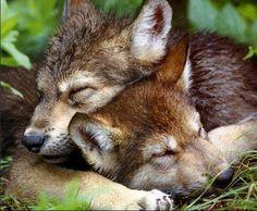 sweet dreams .. wolf pups
