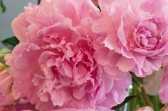 Chelsea Fringe 2014 - Passion for Peonies event by florist Neill Strain   Flowerona