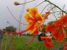 O Flamboyanzinho é uma árvore de pequeno porte que pode chegar até cinco metros. Recebe outros nomes como: Flamboyant-mirim, Flamboyant-de-j...