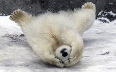 polar bear | Shy polar bear wallpaper