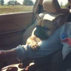 'This Little Gremlin gets so sleepy on the long Car Ride home from Grandmas', Sleepy French Bulldog, too cute ; }