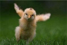 flying chicken | by 木木三