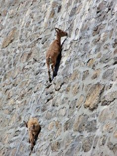 Berggeiten beklimmen verticale dam in Gran Paradiso - Nieuws - Droomplekken