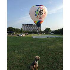 夢気球と夢をプレゼントしてきれた愛犬のコラボ? #夢#愛犬#ウェルシュテリア#バルーン#気球