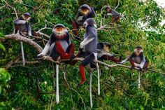 Red-shanked doucT Red-shanked douc family group feeding in the canopy at Son Tra nature reserve in Vietnam Photograph: Tim Plowden/Traffic/Rex Shutterstock Mono Japan, Monkey Species, Cute Pictures, Cool Photos, Beautiful Pictures, Animal Magic, Wildlife Conservation, Nature Prints, Primates