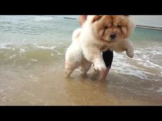 CHOWCHOW TOBYPUFF AT THE BEACH!! - YouTube