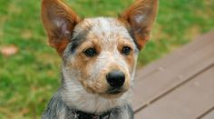 Cree - Jack's red heeler. A playfully intelligent pup, quick to learn, quick to protect.