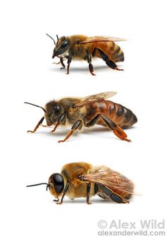 Castes of the western honey bee Apis mellifera: worker, queen, and drone.