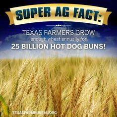 Texas farmers grow enough wheat annually for 25 BILLION hot dog buns! Ag Science, Life Science, Agriculture Statistics, Farm Facts, American Agriculture, Bell Ringers, New Teachers, Fact Quotes, Farm Life