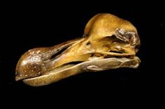 The entire skeleton of this rare specimen has been cast. Please contact us for a price quote. Dodo Raphus cucullatus The legendary ...