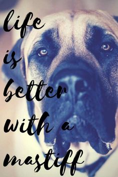 The four breeds most commonly called Mastiffs are the English Mastiff, the Neapolitan Mastiff, the Bull Mastiff and the Tibetan Mastiff. Old English Mastiffs, English Mastiff Puppies, Mastiff Dogs, Mastiff Rescue, Neo Mastiff, Baby Dogs, Pet Dogs, Dogs And Puppies, Dog Cat
