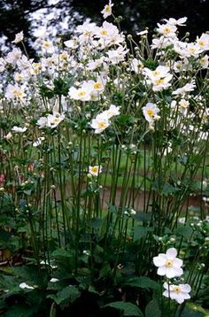RHS Plant Selector Anemone × hybrida 'Honorine Jobert' AGM / RHS Gardening