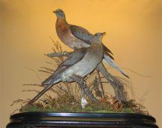 Stuffed and mounted couple of passenger pigeons