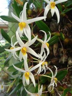 dendrobium acuminatum | Browse through our gallery to see what we can offer you