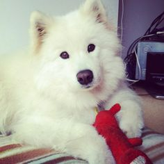 Samoyeds are family-oriented and extraordinarily sensitive of human feelings. They are unarguably excellent companions who equally love the people around them as much as they are loved. They want to be where we are at all times, feeling completely ecstatic whenever their human pack leaders are pleased with their presence.  Samoyeds require much attention as expressed in hugs and cuddles. They are very trusting, gentle, and loving as much as they are also trustworthy, endearing, and lovable.