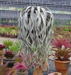 Houseplants for Better Sleep Tillandsia Xerographica - Cool Plant, Looks Like A Head Of Curly Hair Cacti And Succulents, Planting Succulents, Cactus Plants, Garden Plants, Indoor Plants, Planting Flowers, Hanging Air Plants, Landscaping Plants, Potted Plants