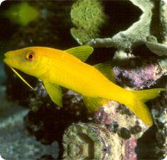 Yellow Goatfish (Parupeneus cyclostomus) is also known as Yellowsaddle Goatfish. Saltwater Aquarium Fish, Saltwater Tank, Cool Fish, Marine Fish, Underwater Life, Beautiful Fish, Color Yellow, Fish Tank, Under The Sea