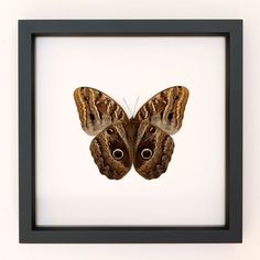 Owl Butterfly  Framed Insect Shadowbox Display by BugUnderGlass, $46.00