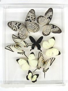butterfly kisses in black & white Papillon Butterfly, Butterfly Frame, Butterfly Kisses, White Butterfly, Butterfly Wings, Deco Originale, Acrylic Frames, Beautiful Butterflies, Beautiful Creatures
