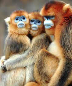 Primate faces - the blue-faced monkey
