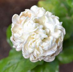 Jasmine 002 jasmine flowers wallpapers   HD Images Backgrounds