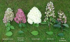ideas for small tree for front yard shade garden Hydrangea Landscaping, Front Yard Landscaping, Shade Garden, Garden Plants, Hydrangea Care, Limelight Hydrangea, Full Sun Hydrangea, Trees For Front Yard, Garden Care